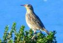 Young Meadowlark