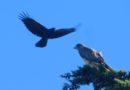 Hawk v. Crows