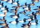 Scaup City