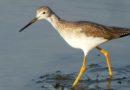Great Yellow Legs