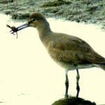 Willet Gets a Big One