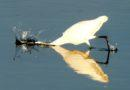 Great Egret Strikes