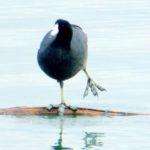 A Coot's Clever Foot