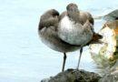 Willets in the Rain