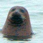 Harbor Seals Visit
