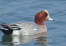A Wigeon From Far Away