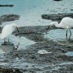 Egrets Aplenty