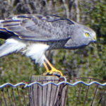 Northern Harrier in the Meadow