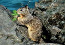 Ground Squirrel Doing a Good Deed