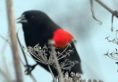 Early Blackbirds