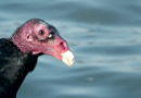Turkey Vulture Up Close