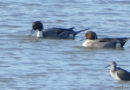 Northern Pintails on the Basin