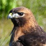 Big Hawk Visits Park