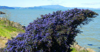 Ceanothus in Bloom