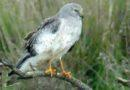 Northern Harrier at Rest