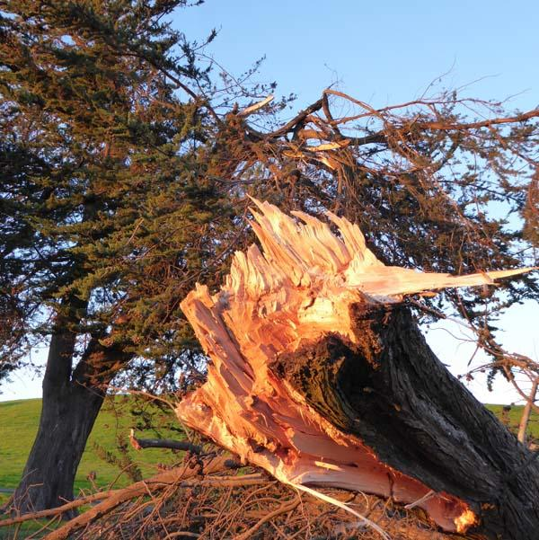 Wind gusts snapped off a major trunk of this big cedar near the Spinnaker Way parking circle.