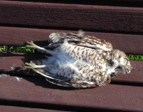 Burrowing Owl Found Dead in Park