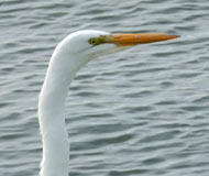 Huge Great Egret Visits
