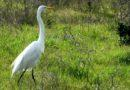 Great Heron, Egret in Park