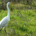Great Heron, Egret in Park